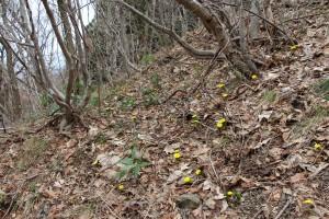 石花登山口周辺は福寿草が見頃です。