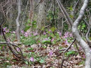 佐渡のカタクリは葉に斑が入っておらず可憐な花がひと際ひきたつ