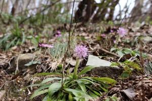 雪割草のお花畑の中のショウジョウバカマ
