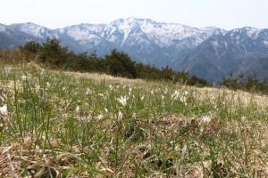 残雪の金北山と一面のアマナ