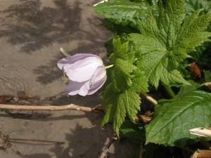 縦池の清水でシラネアオイが咲く