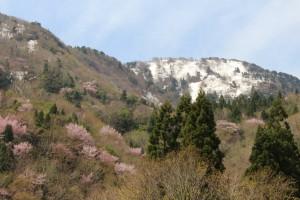 オオヤマザクラと残雪の金剛山