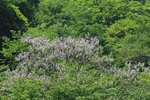 ひと際目立つ桐の花