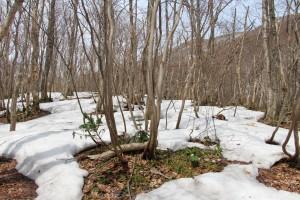 標高300mを超えると残雪は多くなります。