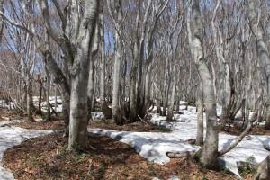 ブナ林の残雪
