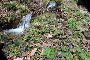 エゾエンゴサク、ニリンソウが咲き始めています。