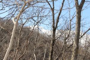 木立の間より金北山山頂を望む
