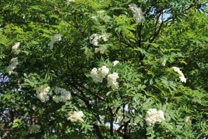 ナナカマドも咲き始めました。