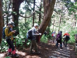 オープン直後の大佐渡石名天然杉を見学